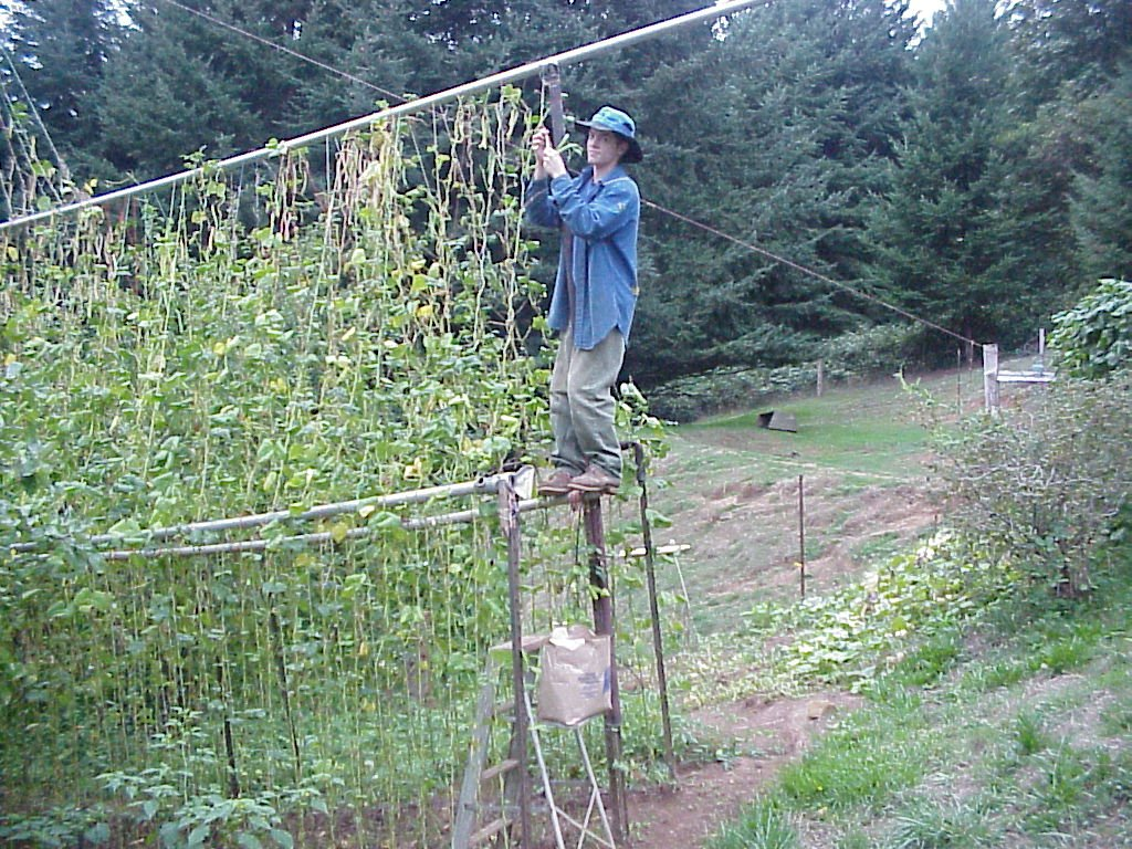 Picking The Green Beans With A Step Ladder