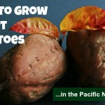 Growing Sweet Potatoes in the Pacific Northwest